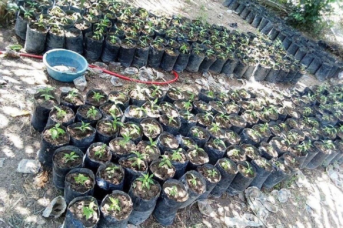 Viele kleine Iboga-Setzlinge