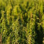 Hanf - die Pflanze, die zu 100% ge- und verbraucht wird