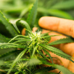 Ist die Abhängigkeit von Cannabis ein Mythos?