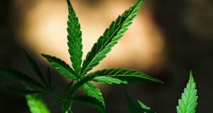 Störender Grasgeruch – Ein Problem der Legalisierung?